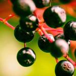 Berry on a bush